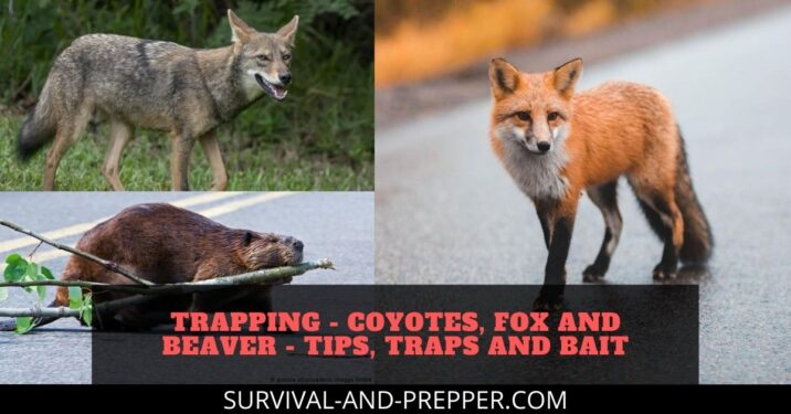 Trapping - Coyotes, Fox and Beaver - Tips, Traps and Bait